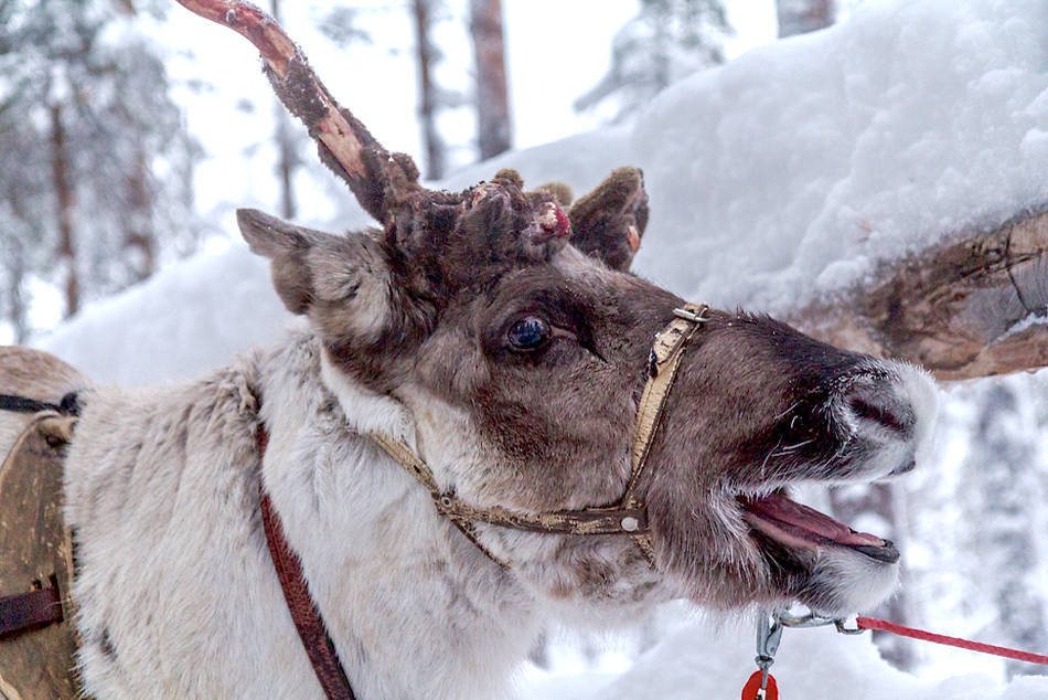 levi lapland finland reindeer safari