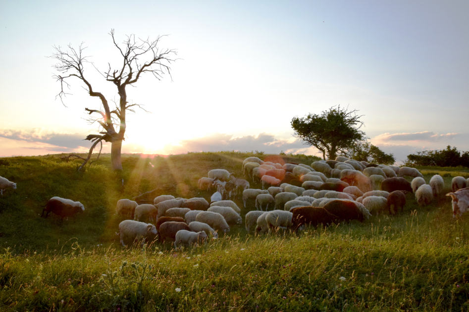 singer germany sunset with sheep