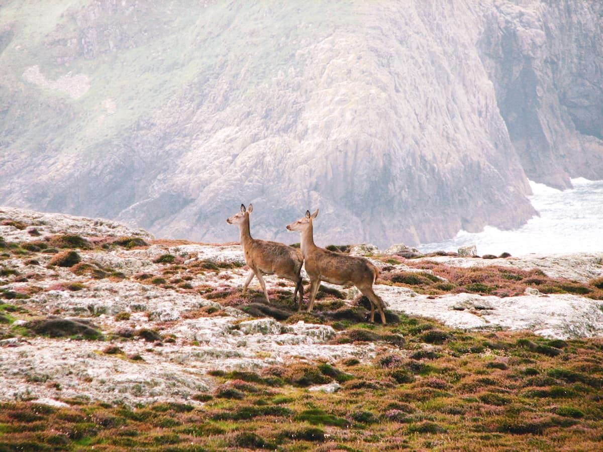 deer at ramsey island pembrokeshire wales