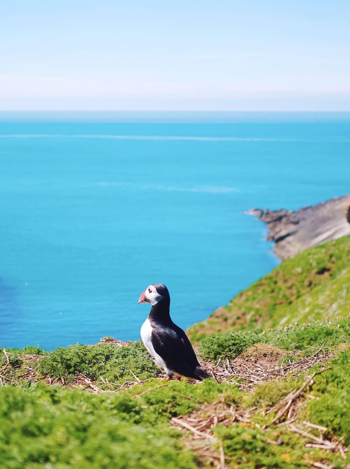 skomer island puffin wales